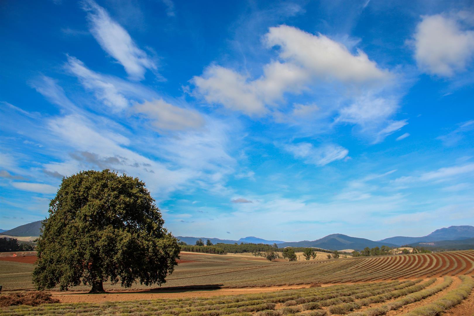 fazenda de lavandas com céu azul