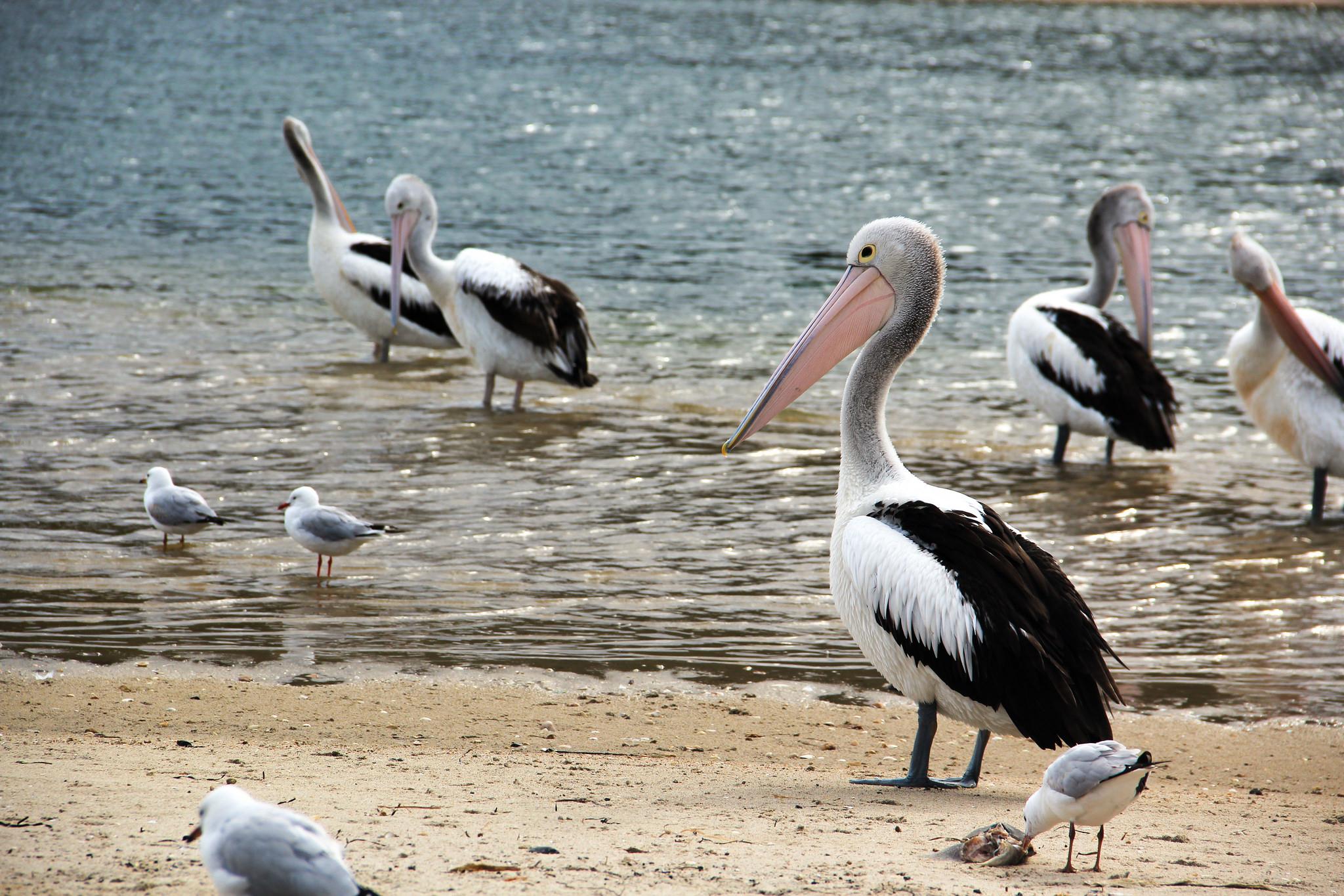 pelicanos e gaivotas no lago