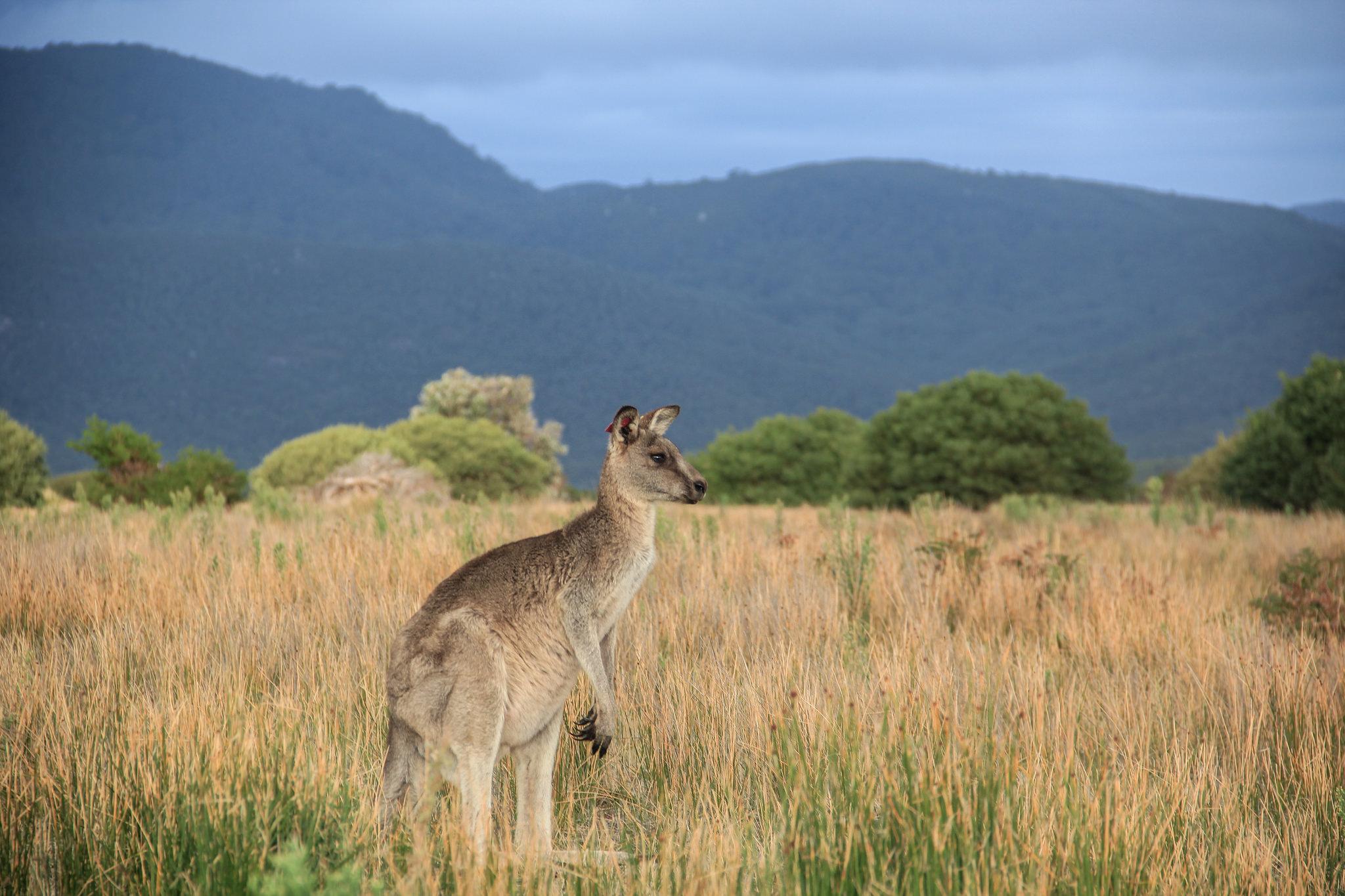 canguru na australia