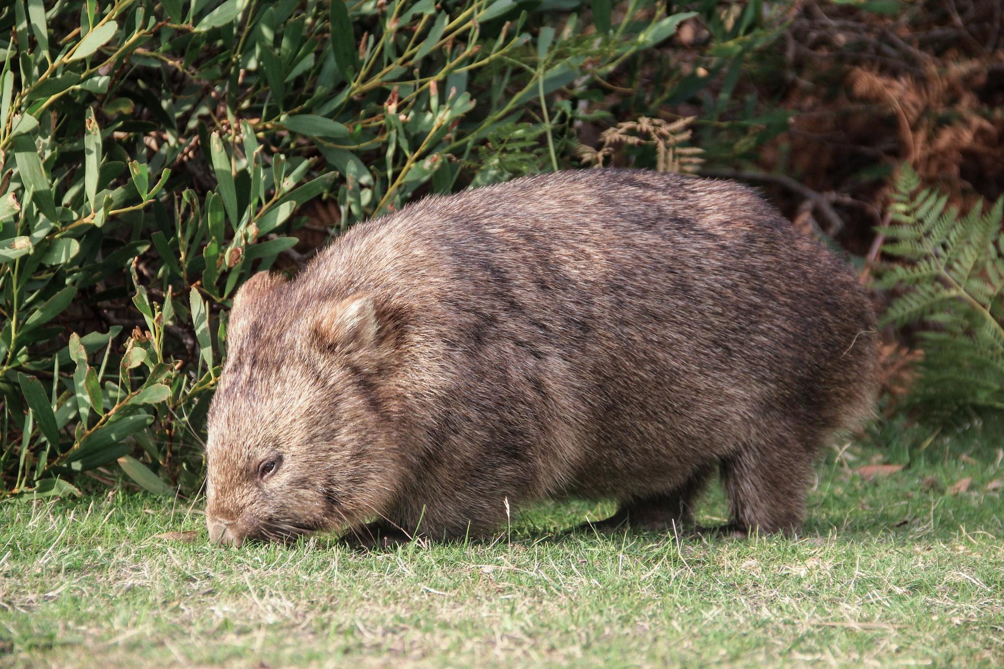 wombat marsupial da australia